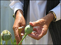A farmer extracting opium from a poppy blossom