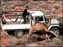 A rancher marks down and catches a camel in executive Australia