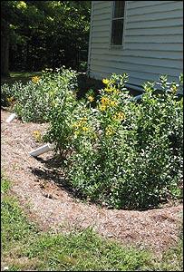 Rain garden (Michael Dietz, University of Connecticut)