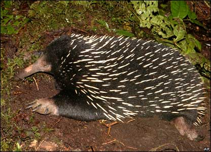 A Long-Beaked Echidna, found in Indonesia's Papua province