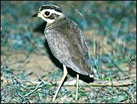 Jerdon's courser (Simon Cook/BirdLife)