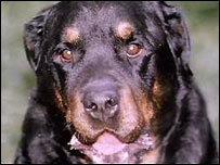 BBC NEWS | UK | Rottweilers, dog control and the law