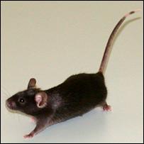 Mouse (Rassoulzadegan)
