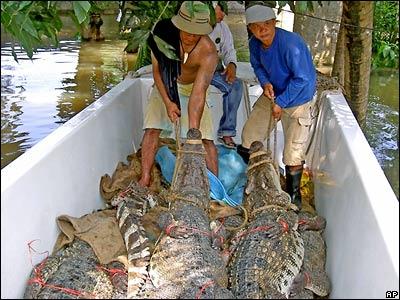 С крокодиловой фермы в Таиланде сбежали все крокодилы.