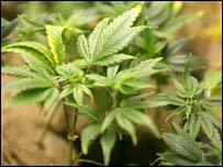 post-image-Marijuana 'top cash crop in US'