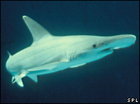 Hammerhead shark asexual reproduction