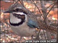 Long-tailed ground-roller. Image: Wim van der Schot