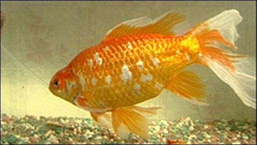 BBC NEWS | UK | England | Kent | Giant goldfish 'simply ...