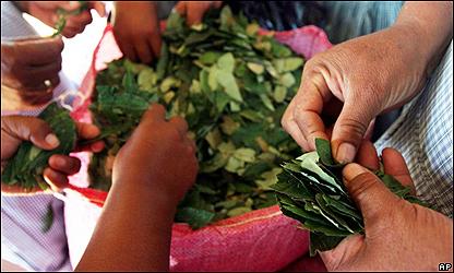 Mujeres seleccionan las hojas de coca, AP