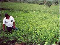 Plantación de hoja de coca.