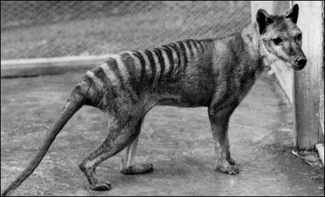 australian dog extinct