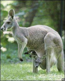 Кенгуру в национальном парке Австралии.