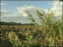 Campo de cultivos transgénicos en el Reino Unido.