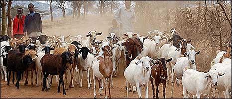 Bbc News Africa Global Crisis Hits Kenya Goat Sales