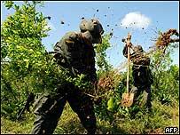 Soldados arrancando plantas de coca