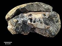 El fósil de 300 millones de años (Foto: PNAS)