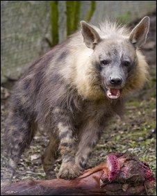 Bbc News Uk England Kent Rare Hyenas Arrive At
