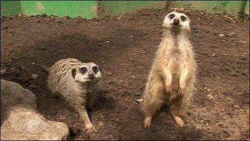 Cbbc Newsround Animals Why Meerkats Don T Make Good Pets