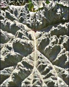 Close up of desert rhubarb leaf