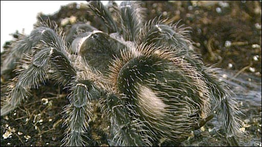 World Biggest Real Spider