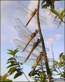 Globe skimmers (Pantala flavescens)