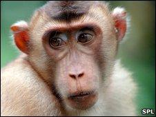 Macaque (SPL)
