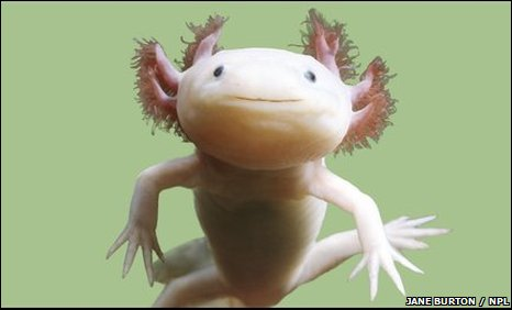 BBC - Earth News - Axolotl verges on wild extinction