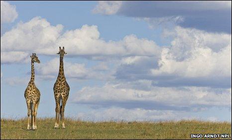 3c815360 BBC - Earth News - 'Supercharged' heart pumps blood up a giraffe's neck