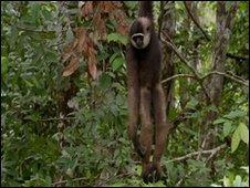 Gibbon Dating Agency 33