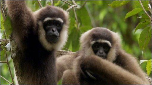 Earth News Gibbon Dating Agency 53