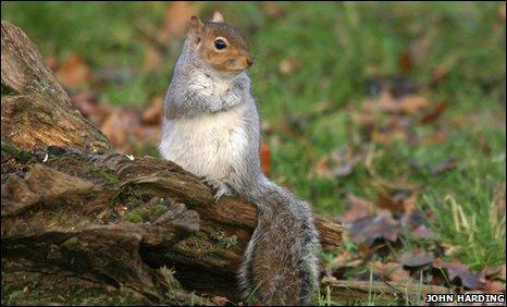 BBC - Earth News - Grey squirrels 'do not harm woodland
