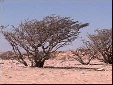 Bbc News Frankincense Could It Be A Cure For Cancer