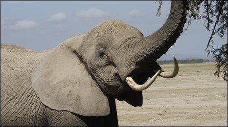 An elephant feeding